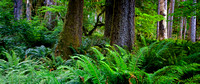 Hoh Rain Forest Pano